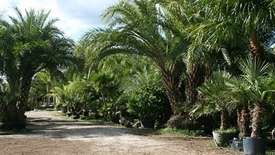 5 Things to consider when picking out palm trees